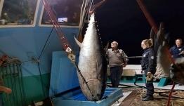Τόνος - γίγας 2,74 μέτρων και 288 κιλών από Καλύμνιους ψαράδες στη Νάξο