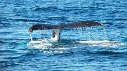 Φάλαινα πέθανε από «γαστρικό σοκ» - Βρέθηκαν στο στομάχι της 40 κιλά από πλαστικά