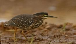 Αυτό το σπάνιο πουλί εμφανίστηκε στην Ελλάδα για πρώτη φορά! video
