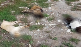 Φλώρινα: Δηλητηρίασαν 26 σκύλους!