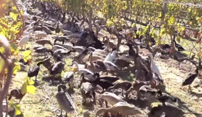 Νίκη Μινάζ πιπιλίζουν ένα μεγάλο πουλί