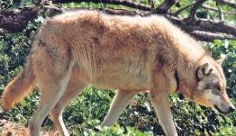 Λύκοι απειλούν τα ελάφια της Πάρνηθας – Τι δείχνει μελέτη αποκάλυψη